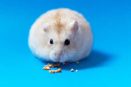 Dwarf hamster eats seeds on a blue background, copy of space