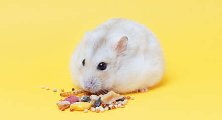 A dwarf fluffy hamster eats dry food on yellow background close up.