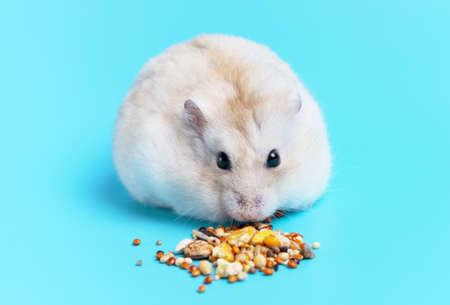 Dwarf fluffy hamster eats grain on blue background, copy space.
