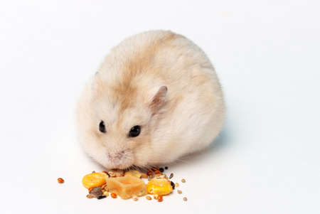 A small hamster eats dry food on white background close-up.