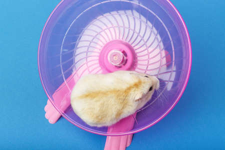 Dwarf furry hamster on a plastic wheel on blue background