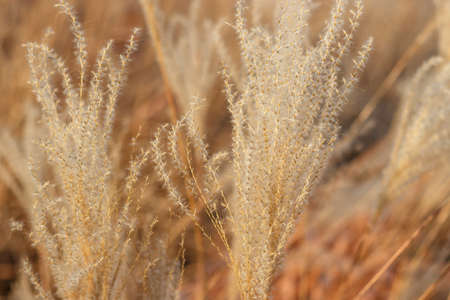 Beige pampas grass close up, a natural textures and background