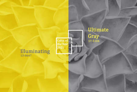 Succulents trendy color of the year 2021 Illuminating and Ultimate gray. Stock Photo