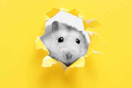A small fluffy hamster on the background color illuminating, close-up