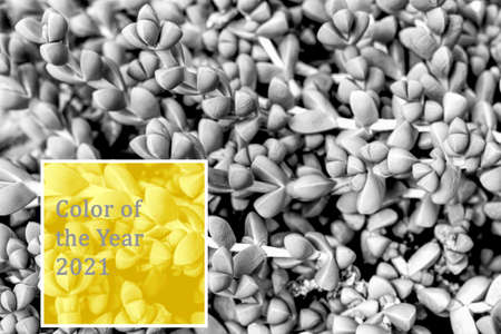 Succulent trendy color of year 2021 yellow and gray.