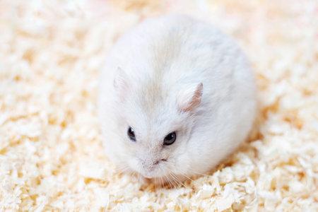 Dwarf furry hamster sits on a sawdust close-up.