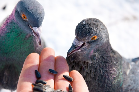 Feeding pigeons from hand  Stock Photo