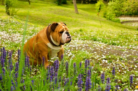 English Bulldog Stock Photo - 9557992