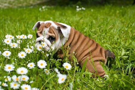 English bulldog puppy photo