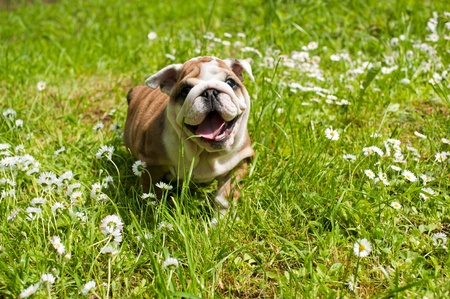 English bulldog puppy Stock Photo - 9619294