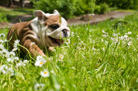 English bulldog puppy Stock Photo - 9619274