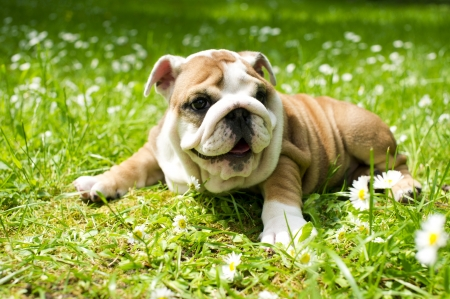Cute happy bulldog puppy playing on fresh summer grass