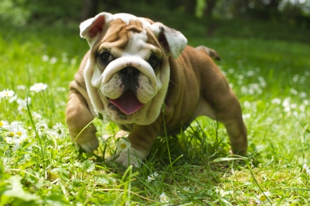 Cute happy bulldog puppy playing on fresh summer grass Stock Photo - 9619260