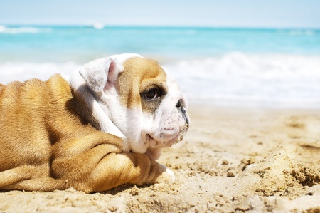 English Bulldog puppy on at the sea