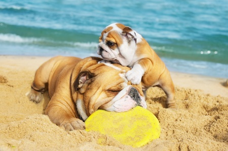 English Bulldog and a puppy playing on the beach with a freezbie