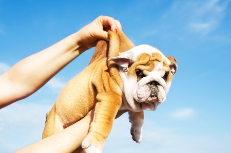 Holding English Bulldog puppy in the sky background