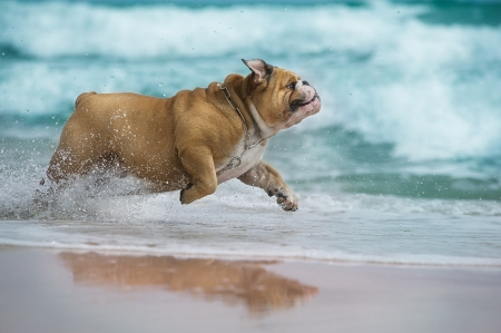 funny dogs: Happy dog Bulldog running at the sea  Stock Photo