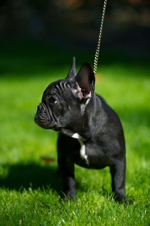 bull dog: French bull dog puppy on a walk Stock Photo