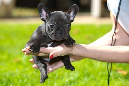 French bulldog puppy on a walk