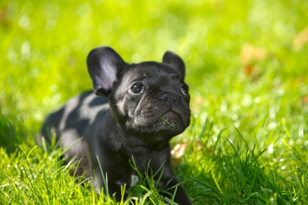 french bulldog puppy: French bulldog puppy on a walk