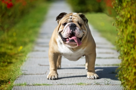 English bulldog on green grass field Stock Photo