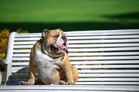 bull dog: English Bulldog sitting on white bench