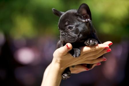 French bulldog puppy 50 days old Stock Photo