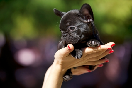 French bulldog puppy 50 days old Stock Photo - 10877595