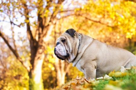 Cute Bulldog in a park in autumn Stock Photo
