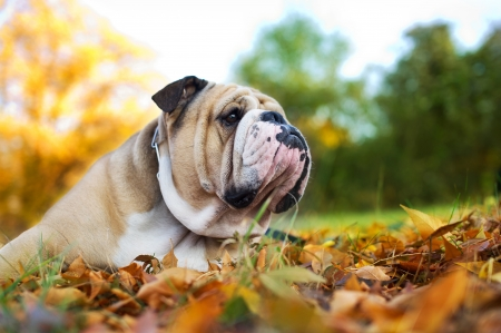Cute Bulldog in a park in autumn Stock Photo
