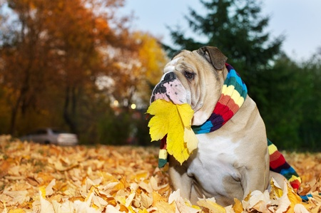 Bulldog in a scarf in autumn
