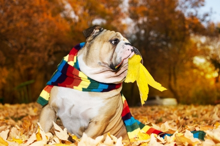 Bulldog in a scarf in autumn