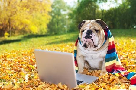 Buldog met een computer in de herfst bladeren