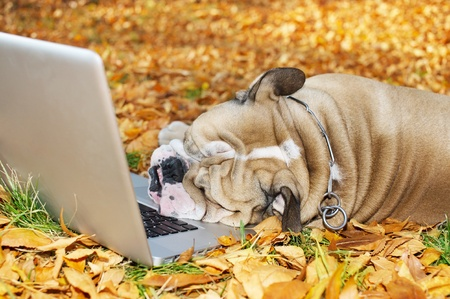 laptop outside: Bulldog with a computer in autumn leaves