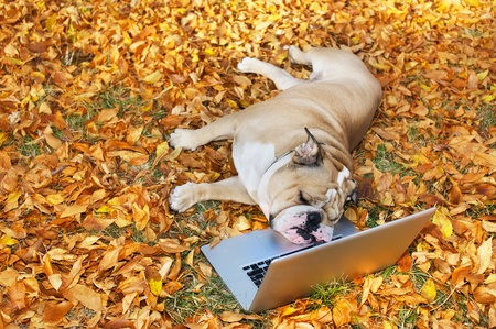 Bulldog with a computer in autumn leaves