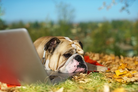 Bulldog with a computer in autumn leaves photo