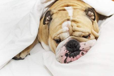 Cute bulldog sleeping on a bed Stock Photo