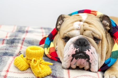 checkered scarf: Bulldog in scarf on a plaid Stock Photo