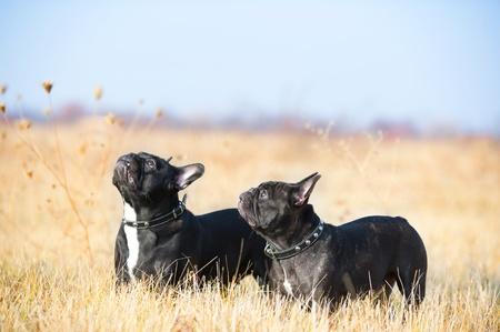 boston terrier: French Bulldog dog