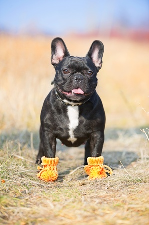 funny boston terrier: French Bulldog dog in baby booties Stock Photo