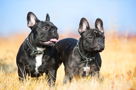 frenchie: Due ritratto bulldog francese