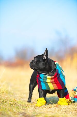 Cute french bulldog photo