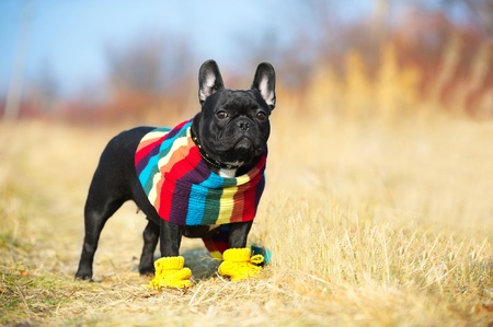 boston terrier: Cute french bulldog