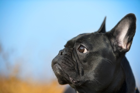 Cute french bulldog portrait Stock Photo