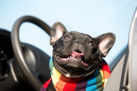 Cute French Bulldog driving a car photo