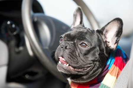 Cute French Bulldog driving a car