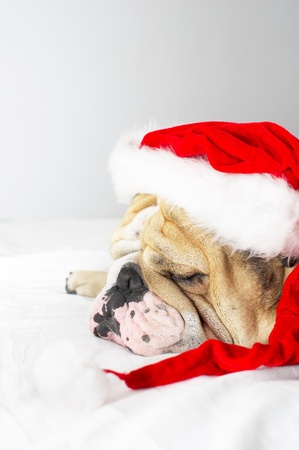 English Bulldog in a christmas hat isolated photo
