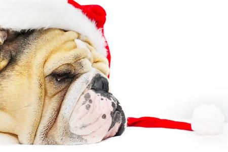 Bulldog Ingl�s con un sombrero de Navidad aislado Foto de archivo - 11322885