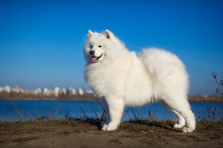 Beautiful samoyed dog puppy portrait photo