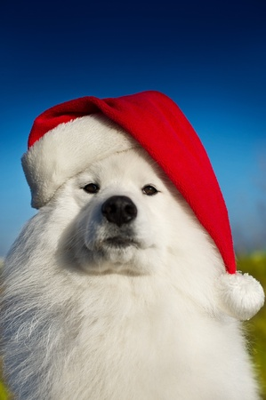 Beautiful samoyed dog portrait in a christmas hat photo